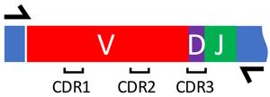 V(D)J amplification