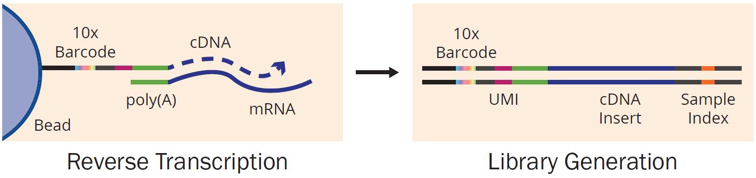 single-cell RNA-Seq library prep